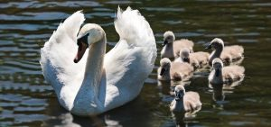 Imagen de una mamá cisne con sus hijos detrás